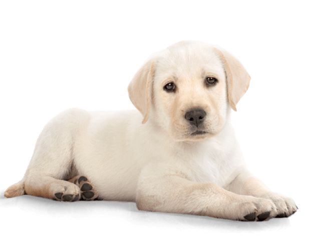 Lab clipart dog banner library Puppy Dog Labrador transparent PNG - StickPNG banner library