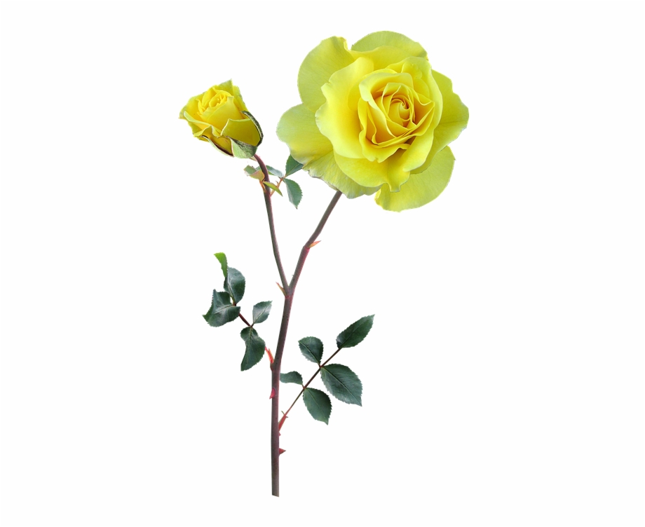 Ladies hand holding long stem rose clipart picture stock Rose Yellow Stem Flower - Yellow Long Stem Flowers Free PNG ... picture stock