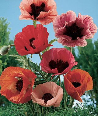 Large picture of flowers png freeuse stock Poppy, Oriental Poppy Mix HEIRLOOM. Large flowers, scarlet to pink ... png freeuse stock