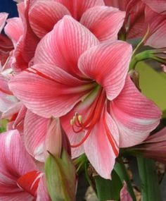 Large picture of flowers stock 17 Best images about Amaryllis /Clivia on Pinterest | Lemon sorbet ... stock