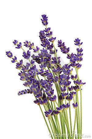 Lavendar clipart png library lavender clipart free - Google Search | Lavender | Lavender oil ... png library