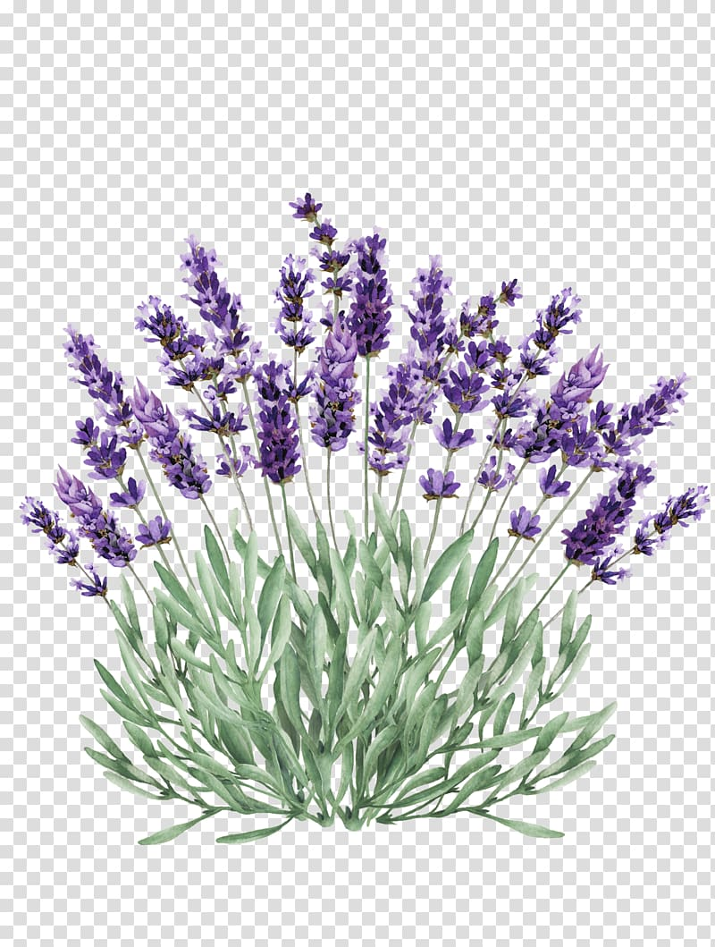 Lavendar clipart svg stock Lavender Portable Network Graphics Illustration graphics, hydrangea ... svg stock