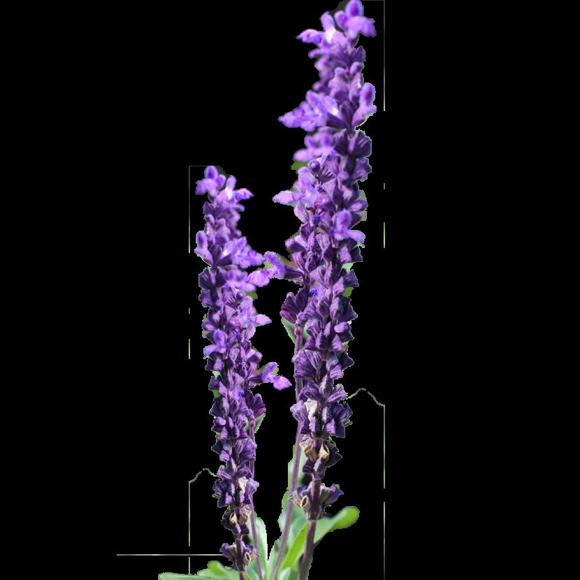 Lavender cross clipart vector royalty free Lavender Flower Clip Art – savingourboys.info vector royalty free
