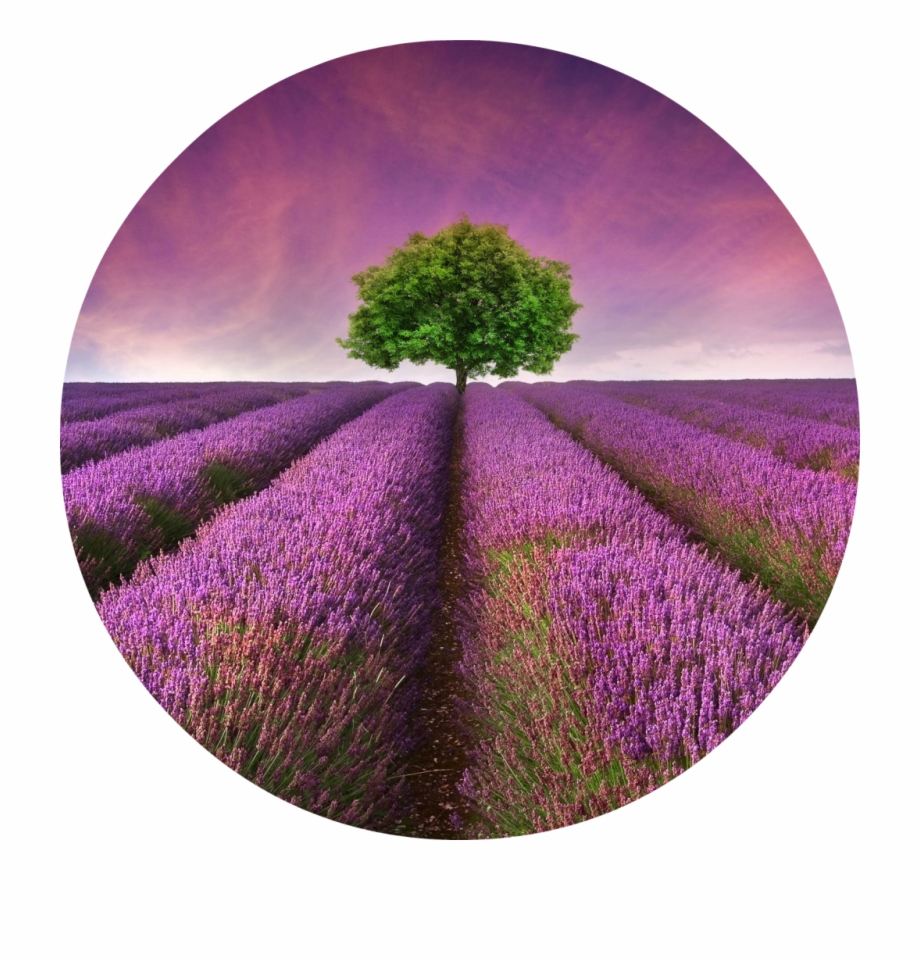 Lavender field clipart graphic royalty free download Lavender Field Free PNG Images & Clipart Download #368144 - Sccpre.Cat graphic royalty free download