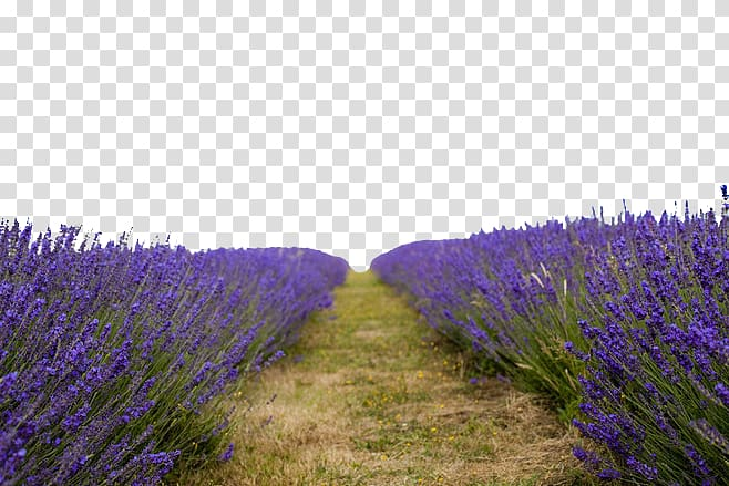 Lavender field clipart image transparent library Lavender Ultra-high-definition television 4K resolution , Lavender ... image transparent library