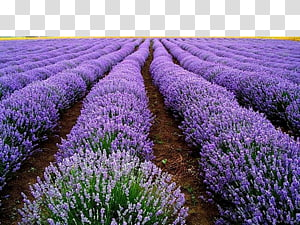 Lavender field clipart vector royalty free English lavender French lavender Lavender oil Plant, plant ... vector royalty free