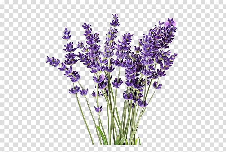 Lavender transparent clipart image free Purple lavender flowers, English lavender Lavandula latifolia ... image free