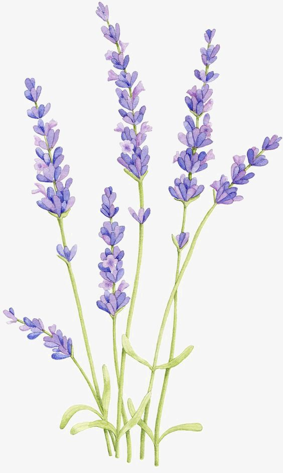 Lavender transparent clipart jpg library stock Lavender, Hand Painted, Cartoon, Watercolor PNG Transparent Clipart ... jpg library stock