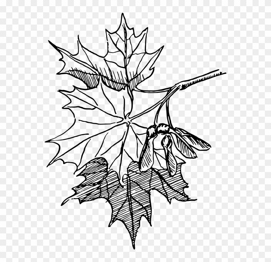 Leaf line clipart svg free library Free Sugar Maple - Maple Leaf Line Drawing Clipart (#488369 ... svg free library