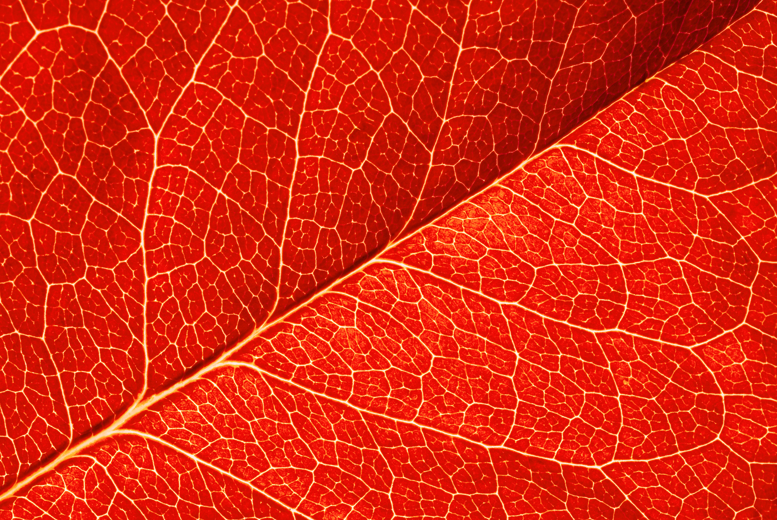Leaf texture clipart clip art freeuse Red Leaf Texture Background | Gallery Yopriceville - High-Quality ... clip art freeuse