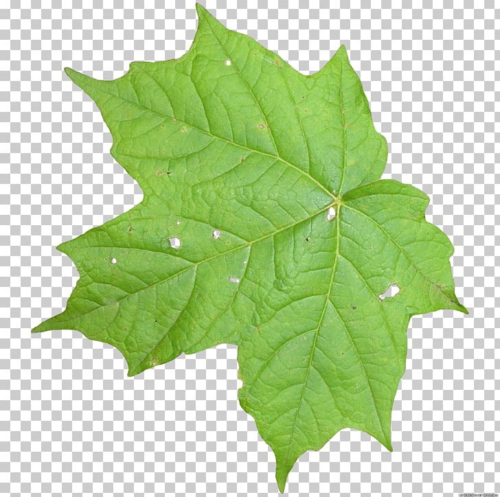 Leaf texture clipart image download Leaf Texture Mapping Vine Computer Icons PNG, Clipart, 3d Computer ... image download
