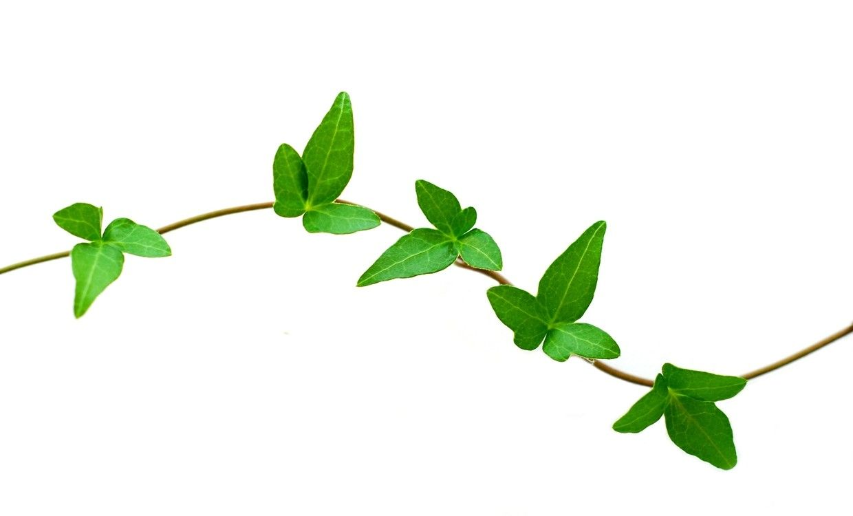 Vine images clipart banner freeuse download Vines Clipart 13 J Leaf Vine Clipart Kid At Clipart Of Vines | ART ... banner freeuse download