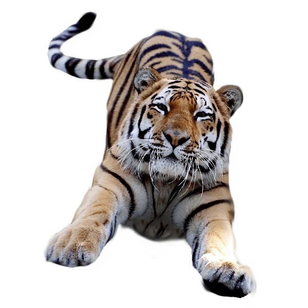 Leaping tiger clipart picture free library Jumping Tiger transparent PNG - StickPNG picture free library