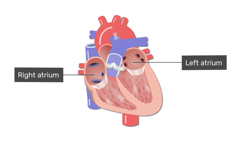 Left ventricle clipart picture library The Heart Chambers and Their Functions picture library