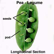 Legume examples clip download Dry Dehiscent Fruit clip download