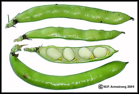 Legume examples banner transparent library Legume Vegetables banner transparent library
