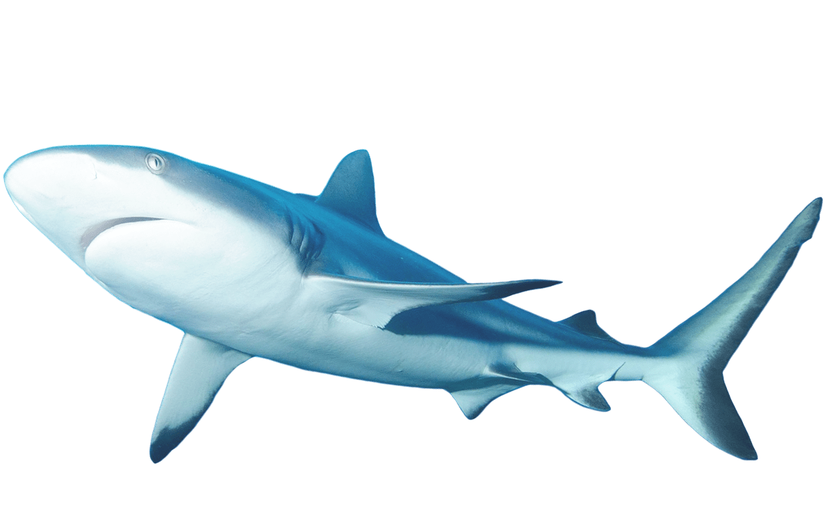 Library of lemon shark clip art transparent download png ...