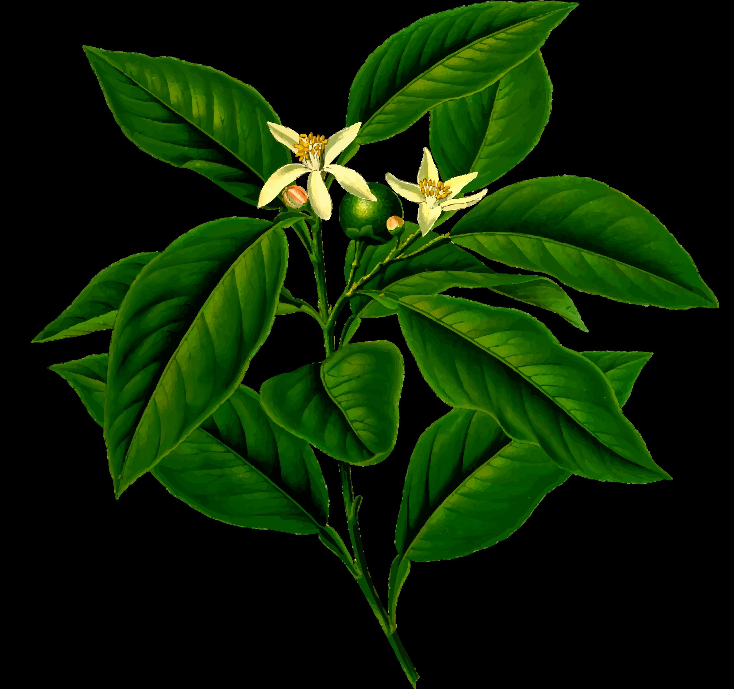 Lemon tree clipart transparent download Clipart - Lemon tree (detailed) transparent download
