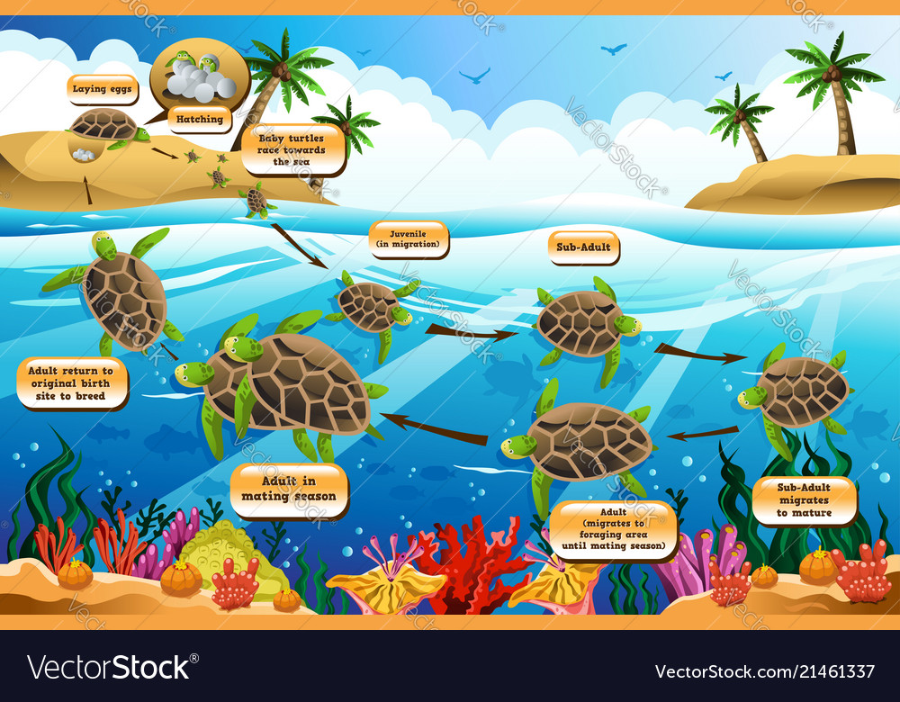 Life cycle of a ocean animals clipart jpg Life cycle of the sea turtle jpg