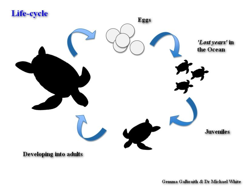 Life cycle of a ocean animals clipart picture freeuse stock Green sea turtle life cycle diagram | Stage 2: Life cycles of living ... picture freeuse stock