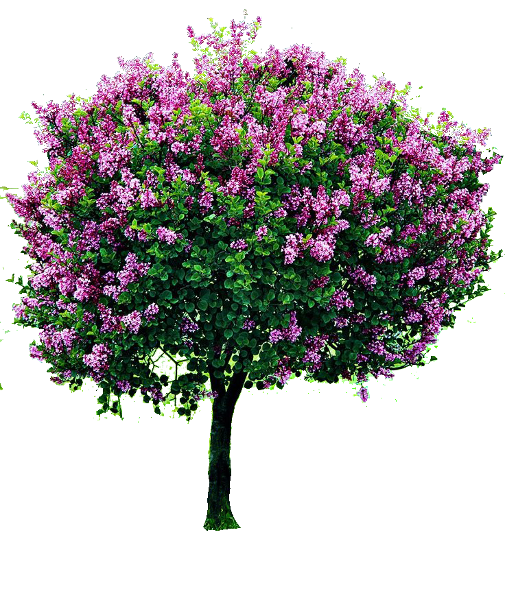 Lilac tree clipart image transparent library png cutout tree | PNG | Pinterest | Architecture and Facades image transparent library