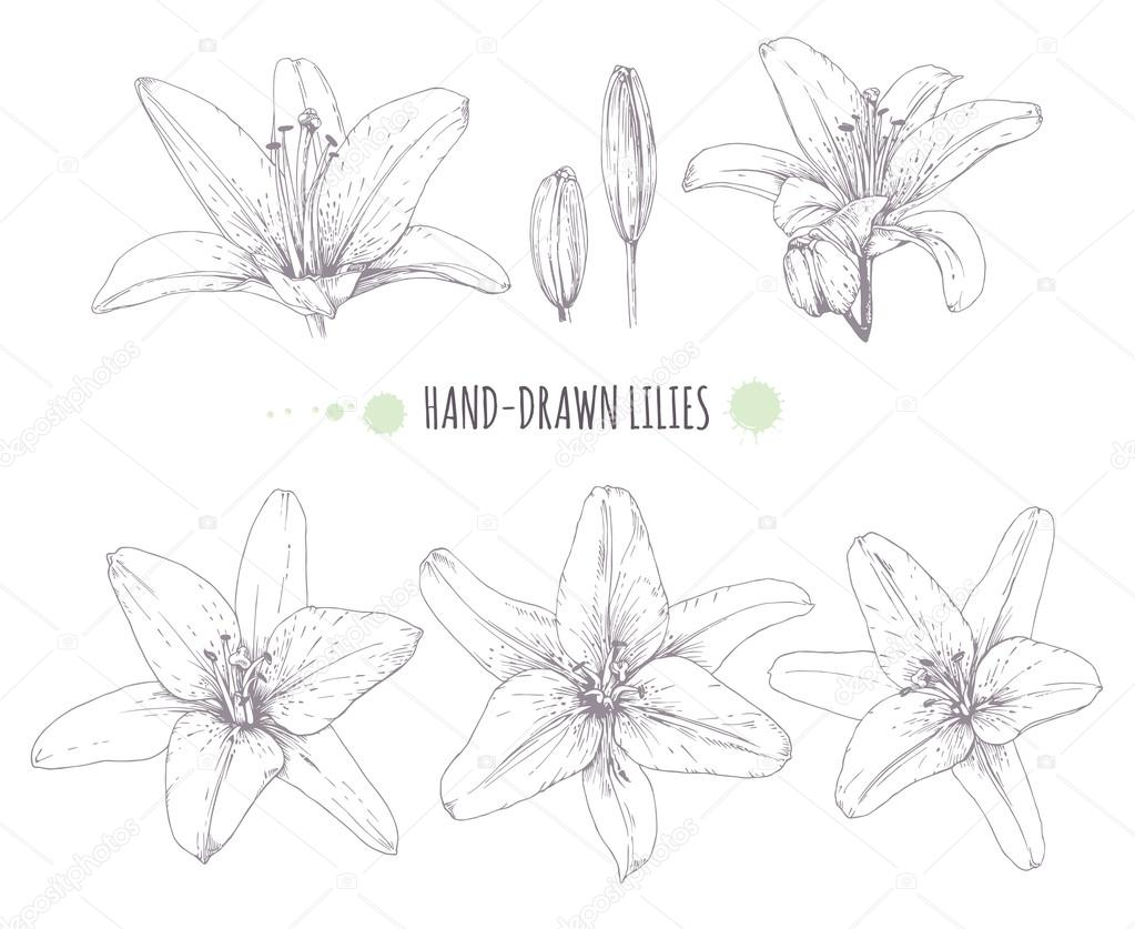 Lilies graphics clip library download Vector graphics lilies. — Stock Vector © mrs.kato.gmail.com #118816078 clip library download