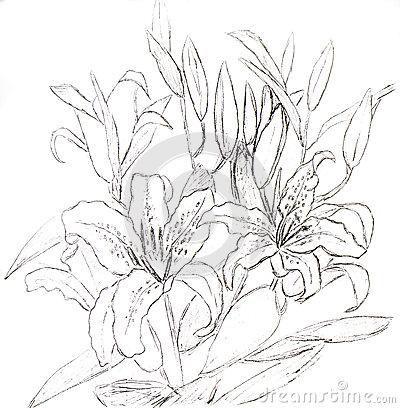 Lilies graphics image stock Lilies, Graphics Stock Illustration - Image: 52734626 image stock