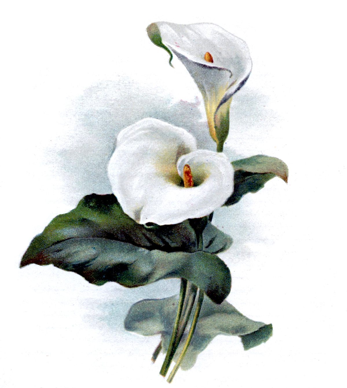 Lilies graphics graphic freeuse download Lilies graphics - ClipartFest graphic freeuse download