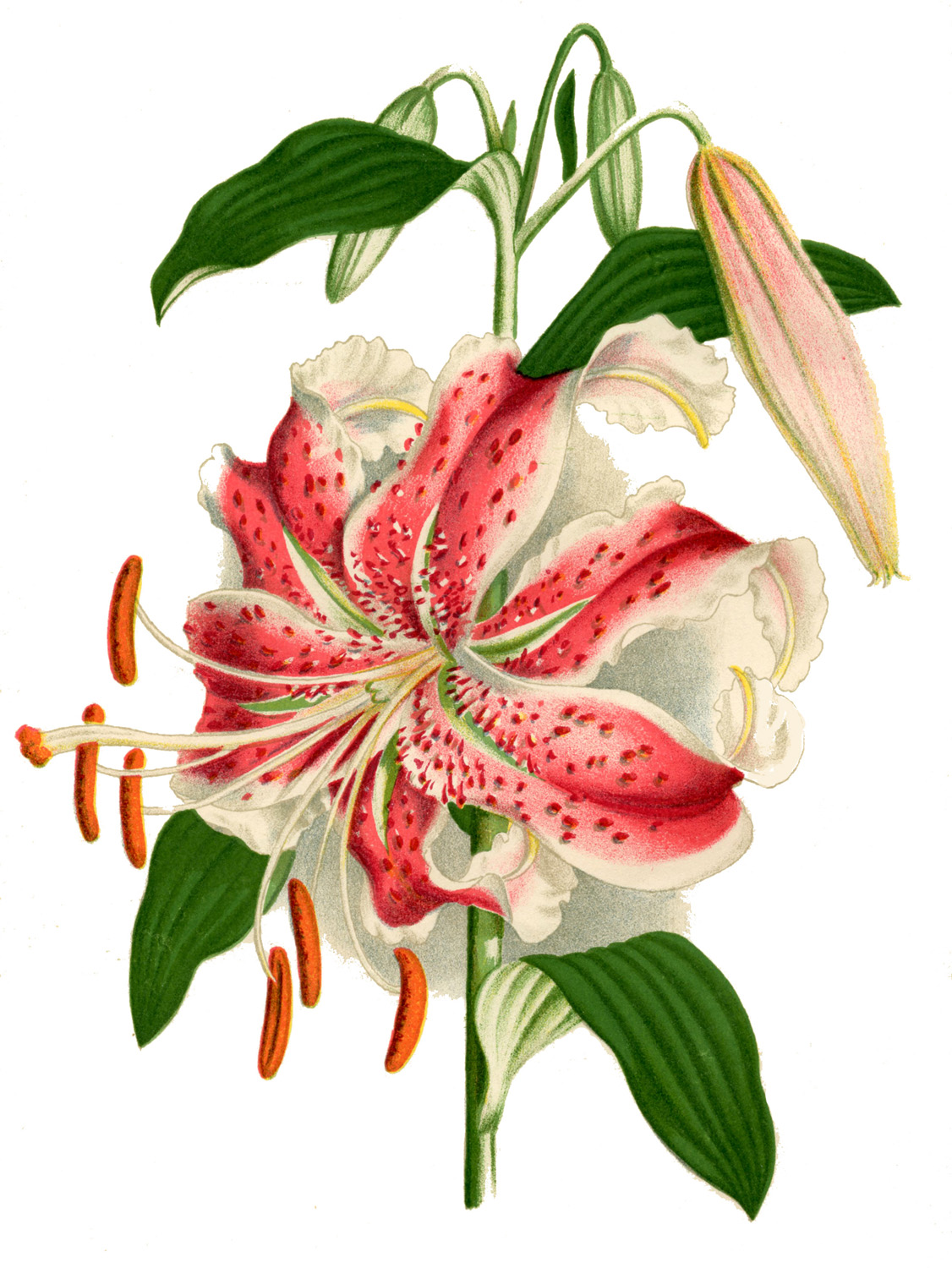 Lilies graphics png stock Lilies Art   Free Download Clip Art   Free Clip Art   on Clipart ... png stock