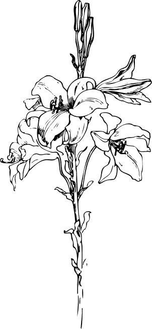 Lilies graphics