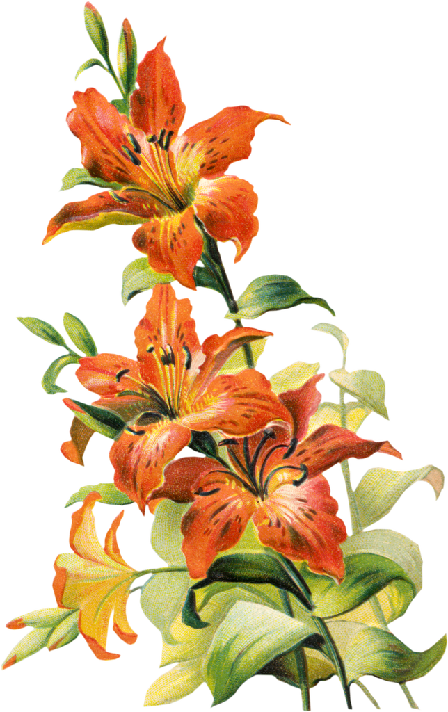 Star lily flower black and white clipart picture freeuse library Free Vintage Tiger Lily Flower | Already painted | Pinterest | Tigers picture freeuse library
