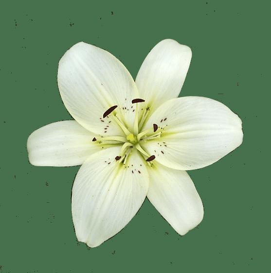 Lily flower transparent clipart picture library download White Lily Flower transparent PNG - StickPNG picture library download