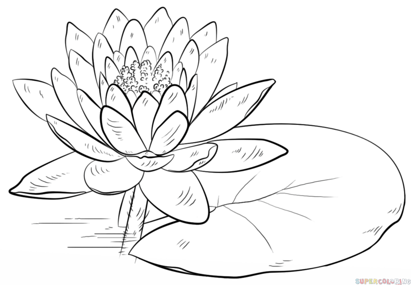 Lily pad flower clipart blach and white jpg transparent How to draw a water lily and pad | Step by step Drawing ... jpg transparent