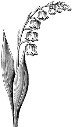 Lily stem flower black and white clipart clipart black and white drawing lily of the valley flower - Google ... clipart