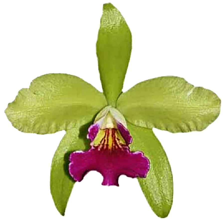 Lime green flower clipart png royalty free stock Lime Green Orchid by jeanicebartzen27 on DeviantArt png royalty free stock