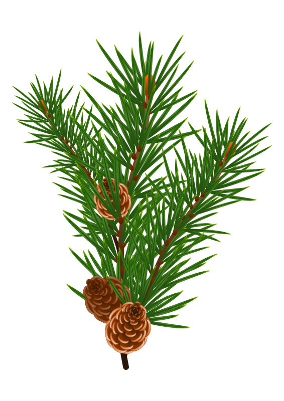 Loblolly pine tree branch clipart clipart transparent download Clipart - PIne branch #2 clipart transparent download