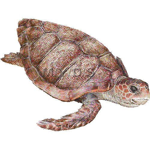 Loggerhead turtle clipart clipart freeuse stock Loggerhead sea turtle clipart graphics free clip art - WikiClipArt clipart freeuse stock
