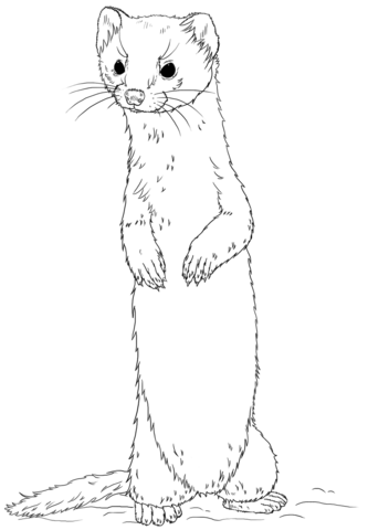 Long tailed weasel clipart vector Long-tailed weasel standing Coloring page from Weasels category ... vector