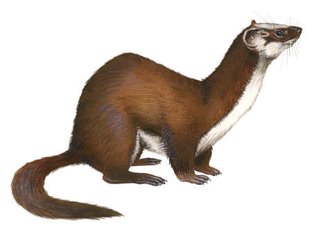 Long tailed weasel clipart royalty free library Drawn Ferret long tailed weasel - Free Clipart on Gotravelaz.com royalty free library