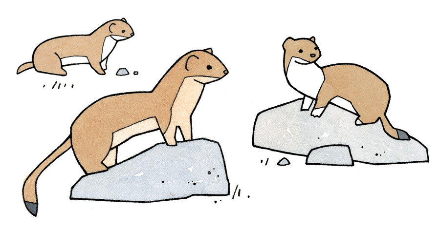 Long tailed weasel clipart picture free library Illustrated Weasel Facts for Kids - studiotuesday picture free library