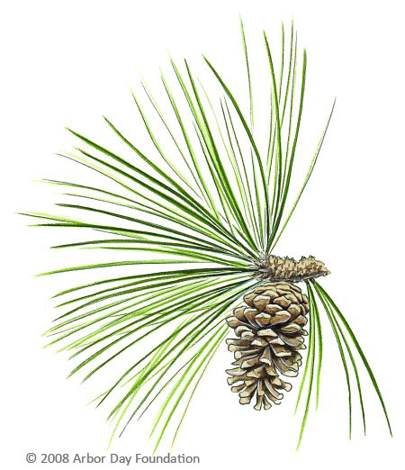 Longleaf pine clipart jpg black and white Tree, Pine, Plant png clipart free download jpg black and white