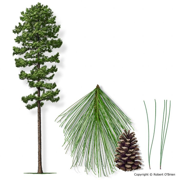 Longleaf pine clipart clip freeuse library Download longleaf pine tree clipart Longleaf pine Loblolly pine ... clip freeuse library
