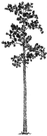 Longleaf pine clipart clip black and white Mature Stage — The Longleaf Alliance clip black and white