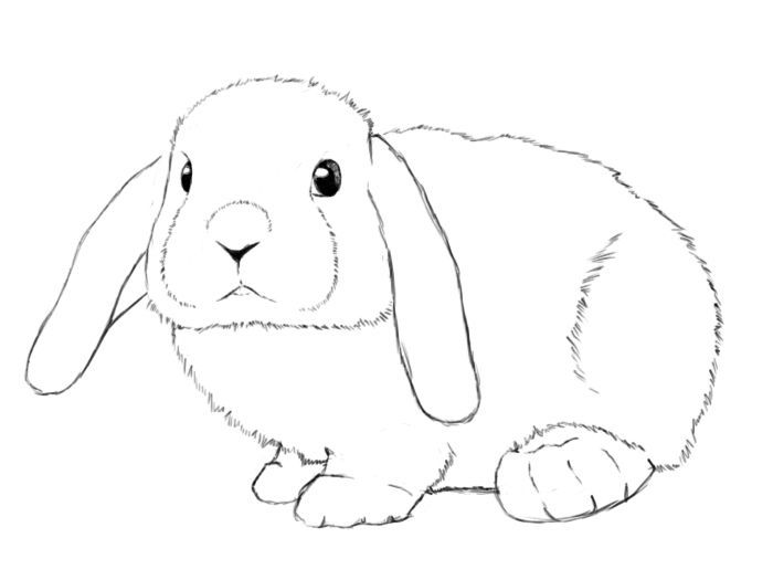 Lop eared rabbit clipart picture transparent bunnies clipart mini lop #1067   Critters   Bunny drawing ... picture transparent