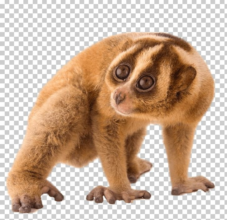 Loris clipart png freeuse stock Slow Loris PNG, Clipart, Animals, Slow Loris Free PNG Download png freeuse stock