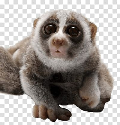 Loris clipart graphic freeuse download Gray and white raccoon, Curious Slow Loris transparent ... graphic freeuse download