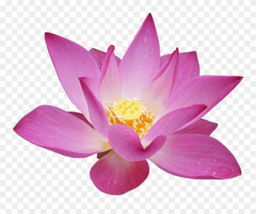 Lotus flower clipart free download image library library Free Png Download Lotus Flower Png Images Background - Lotus ... image library library
