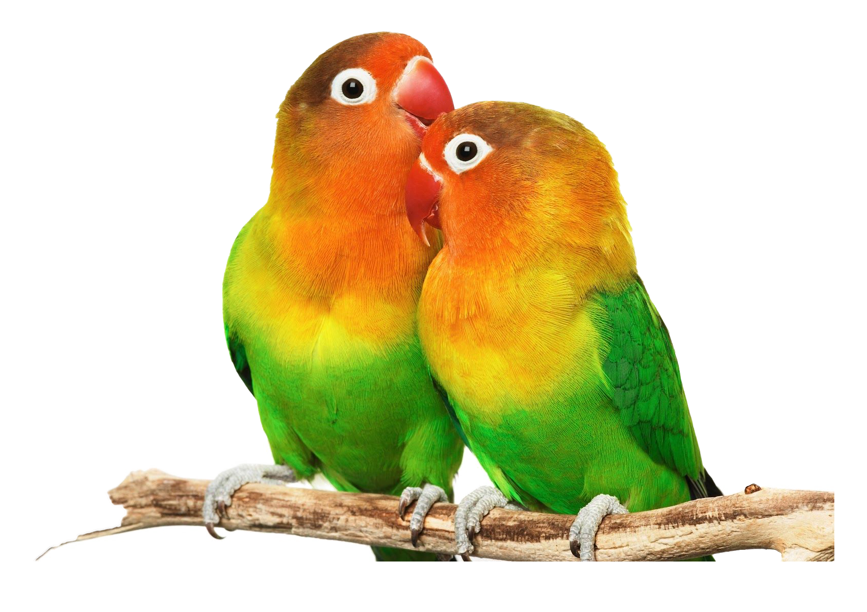 Lovebird clipart picture black and white download Lovebird PNG HD Transparent Lovebird HD.PNG Images. | PlusPNG picture black and white download
