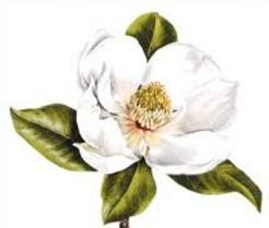 Magmolia clipart picture royalty free Free Magnolia Cliparts, Download Free Clip Art, Free Clip ... picture royalty free