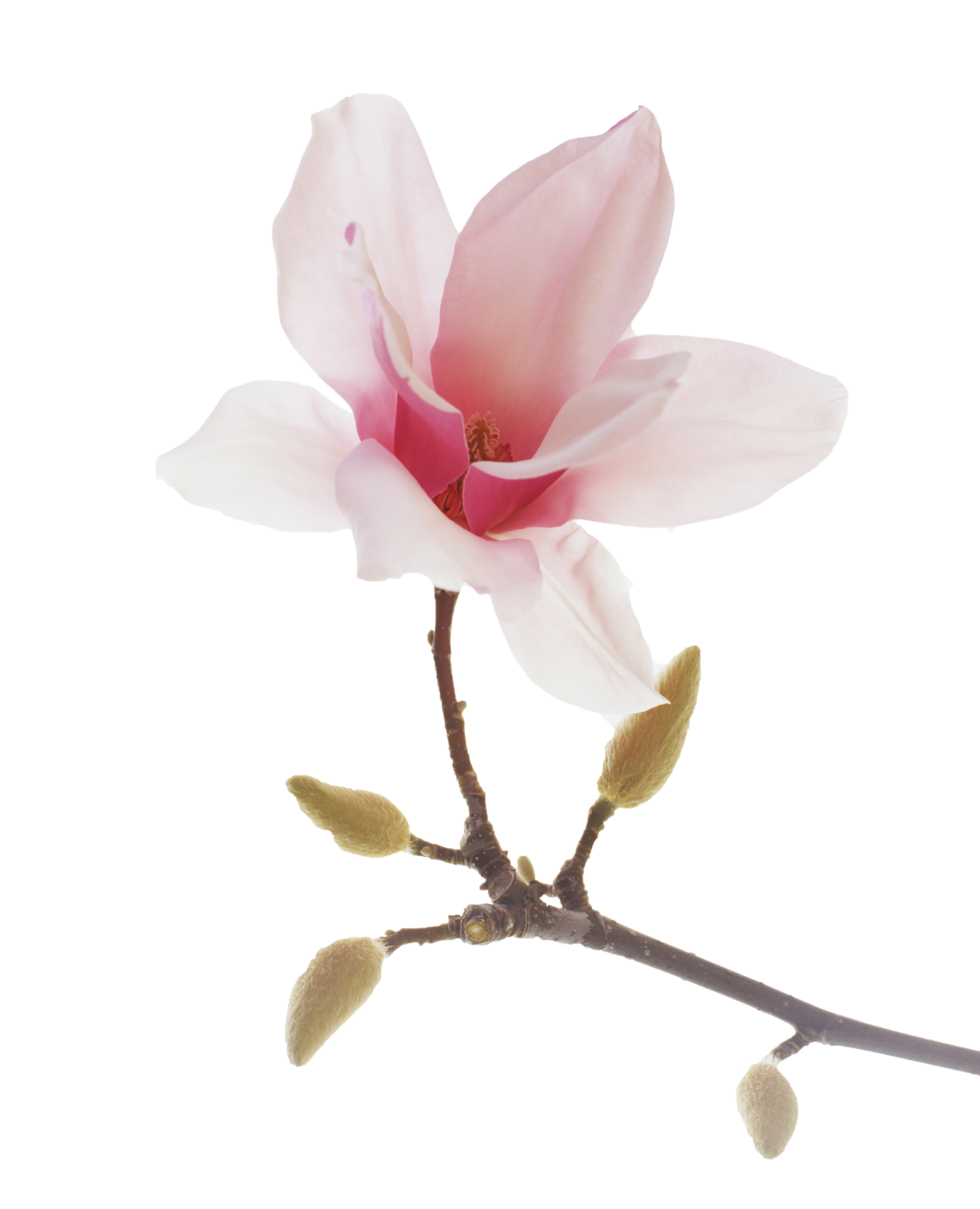 Magnolia flower clipart banner library library 28893-magnolia | Spiritual | Pinterest | Magnolia and Flowers banner library library